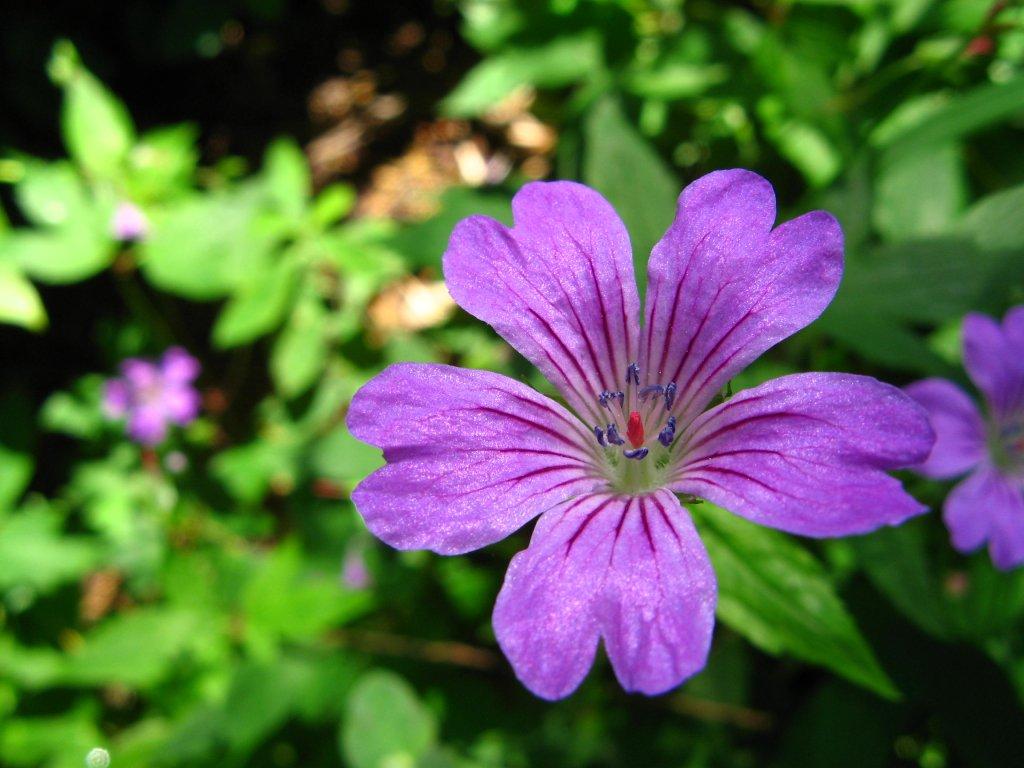 Oh quelles jolies fleurs page 28 supertoinette - Image fleur violette ...